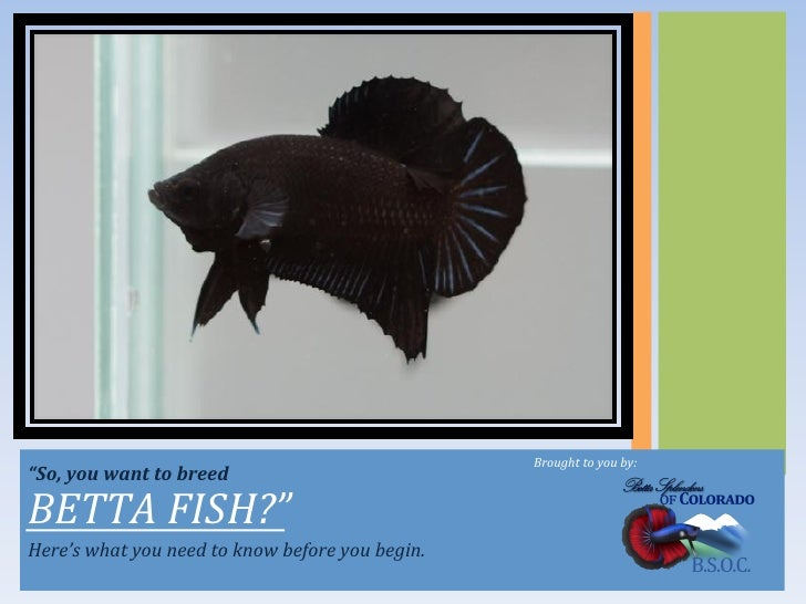 "Brought	  to	  you	  by:	  ""So,	  you	  want	  to	  breed	  BETTA	  FISH?""	  Here's	  what	  you	  need	  to	  know	  bef..."