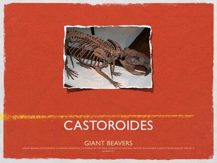 CASTOROIDES                                                   GIANT BEAVERS(GIANT BEAVER (CASTOROIDES OHIOENSIS) SKELETON ...