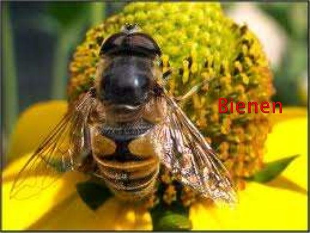  Bienen (definition)  Aussehen  Typen von Bienen  Heimat  Lebenserwartung  Honig