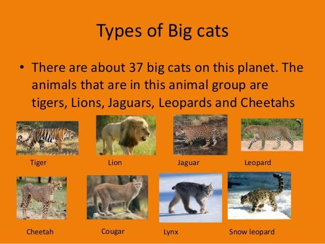 Big Cat Project 1