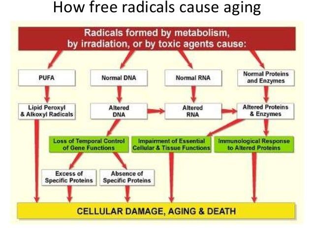 free radicals and aging Antioxidants made by your body and consumed in plant foods helps prevent free radical damage unfortunately, some foods contain free radicals.