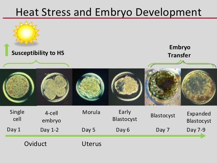 Alfa img showing gt 7 day embryo development