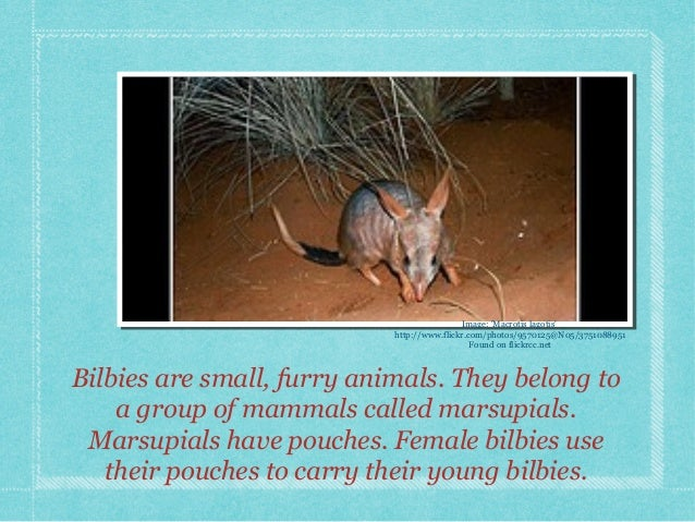 Bilbies are small, furry animals. They belong to a group of mammals called marsupials. Marsupials have pouches. Female bil...