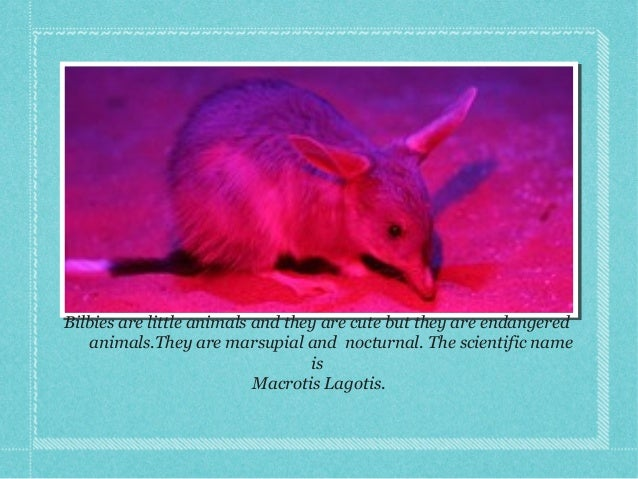 Bilbies are little animals and they are cute but they are endangered animals.They are marsupial and nocturnal. The scienti...