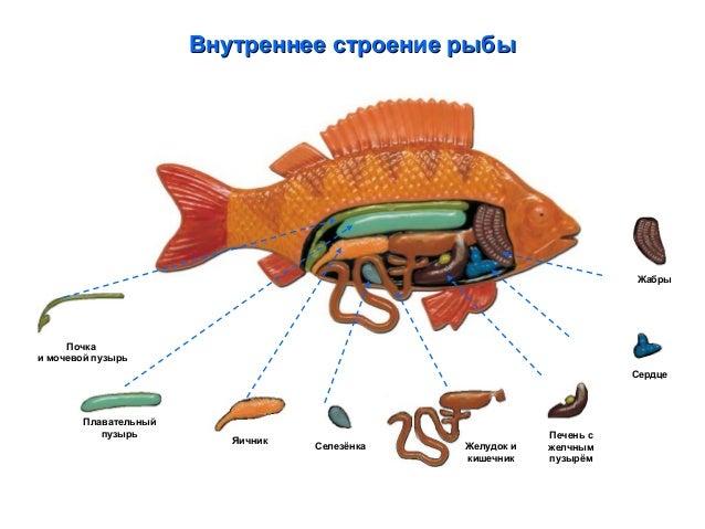 пищеварительной системы