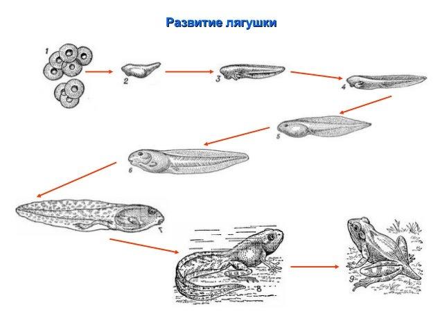 Внутреннее строение ящерицы