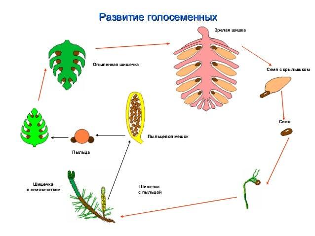 Жизненный цикл цветкового
