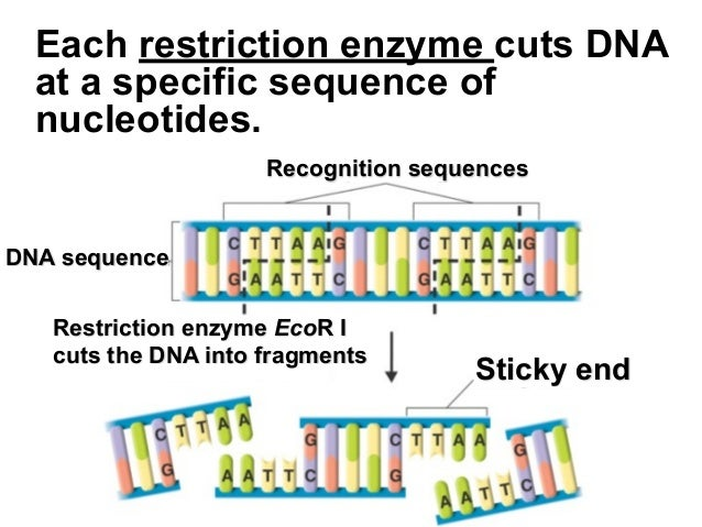 restriction enzymes and the dna Restriction enzymes are dna-cutting enzymes each enzyme recognizes one or a few target sequences and cuts dna at or near those sequences many restriction enzymes.