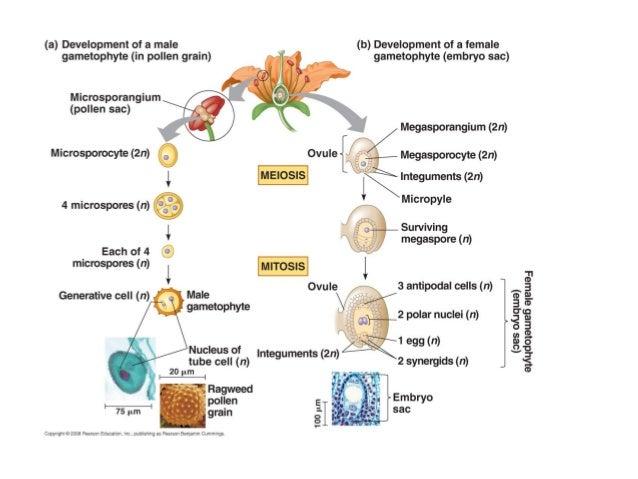 megasporogenesis megagametogenesis