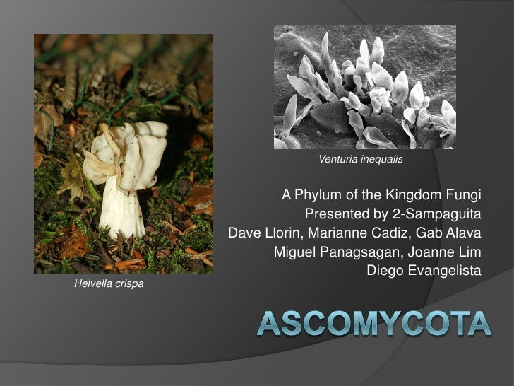 Venturiainequalis<br />A Phylum of the Kingdom Fungi<br />Presented by 2-Sampaguita<br />Dave Llorin, Marianne Cadiz, Gab ...
