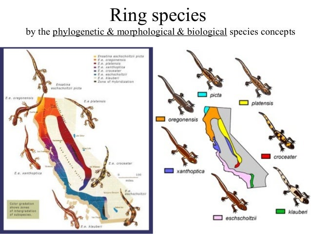 ring species