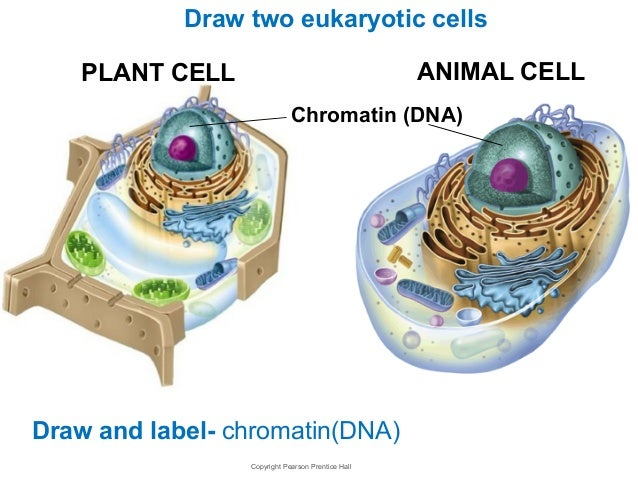 Chromatin Animal Cell