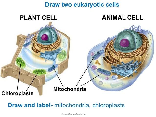 Mitochondria Pl...