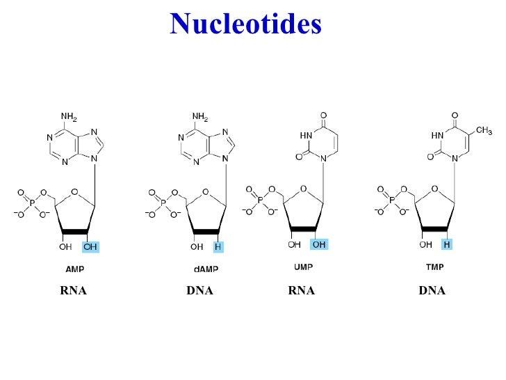 Rna Nucleotides...
