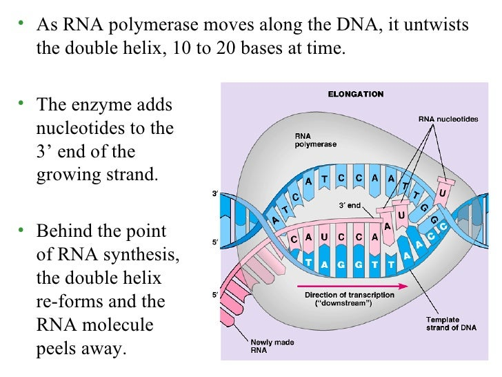 http://image.slidesharecdn.com/biochem-synthesisofrnajune-23-2010-100624091046-phpapp02/95/biochem-synthesis-of-rnajune232010-33-728.jpg?cb=1277370742