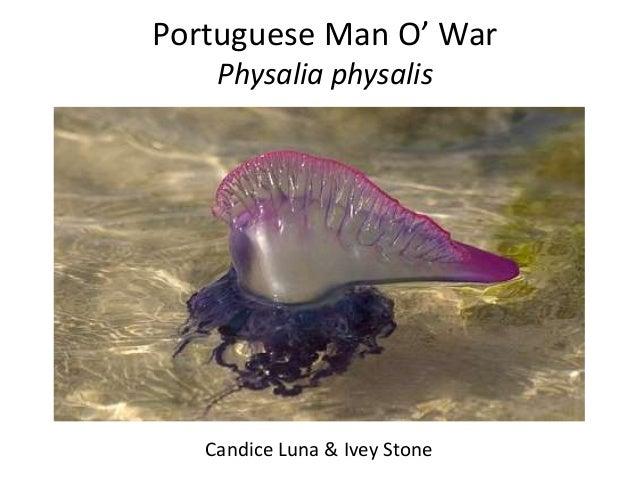Portuguese Man O' War    Physalia physalis   Candice Luna & Ivey Stone