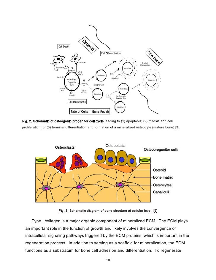 Osteogenic Cells Diagram Osteogenic Progenitor Cell