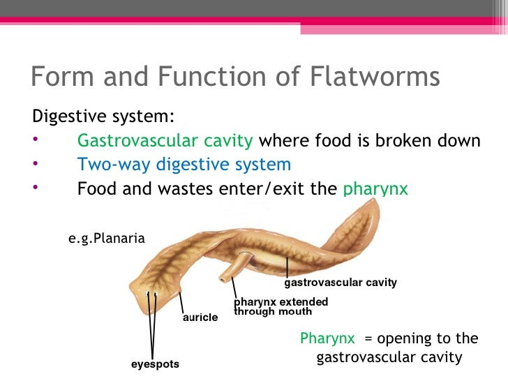 Labeled Flatworm Diagram Planaria Labeled Diagram Wire Diagrams