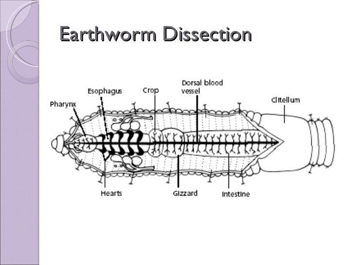 earthworm dissection mcgraw hill write my paper for me mhhe homework trivalleyewaste