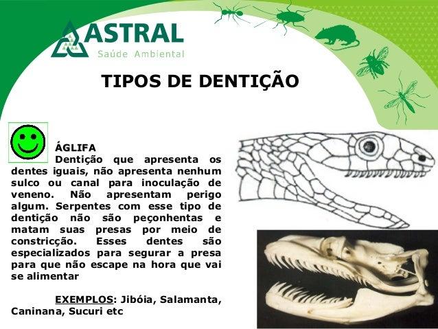 TIPOS DE DENTIÇÃO ÁGLIFAÁGLIFA Dentição que apresenta os dentes iguais, não apresenta nenhum sulco ou canal para inoculaçã...