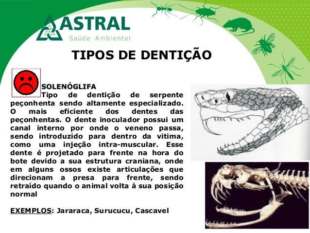 TIPOS DE DENTIÇÃO SOLENÓGLIFASOLENÓGLIFA Tipo de dentição de serpente peçonhenta sendo altamente especializado. O mais efi...