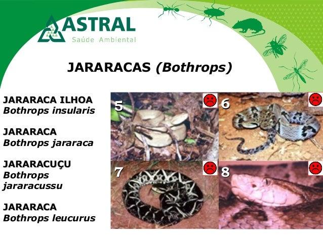 JARARACAS (Bothrops) 55 66 8877 JARARACA ILHOAJARARACA ILHOA Bothrops insularis JARARACAJARARACA Bothrops jararaca JARARAC...