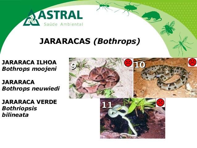 JARARACAS (Bothrops) 99 1111 1010JARARACA ILHOAJARARACA ILHOA Bothrops moojeni JARARACAJARARACA Bothrops neuwiedi JARARACA...
