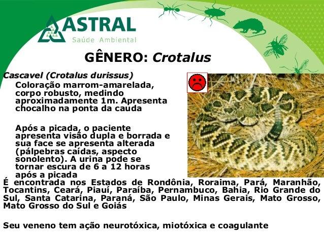 GÊNERO: Crotalus Cascavel (Crotalus durissus)Cascavel (Crotalus durissus) Coloração marrom-amarelada, corpo robusto, medin...