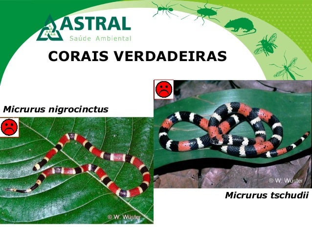 CORAIS VERDADEIRAS Micrurus nigrocinctus Micrurus tschudii