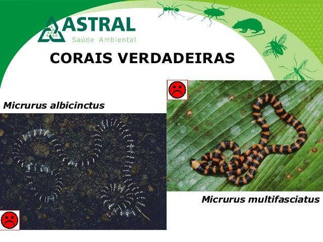 CORAIS VERDADEIRAS Micrurus multifasciatus Micrurus albicinctus