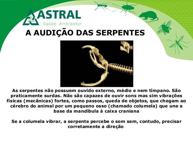 A AUDIÇÃO DAS SERPENTES As serpentes não possuem ouvido externo, médio e nem tímpano. São praticamente surdas. Não são cap...