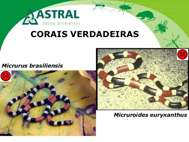 CORAIS VERDADEIRAS Micruroides euryxanthus Micrurus brasiliensis