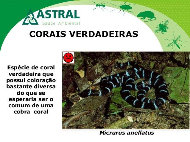 CORAIS VERDADEIRAS Micrurus anellatus Espécie de coral verdadeira que possui coloração bastante diversa do que se esperari...
