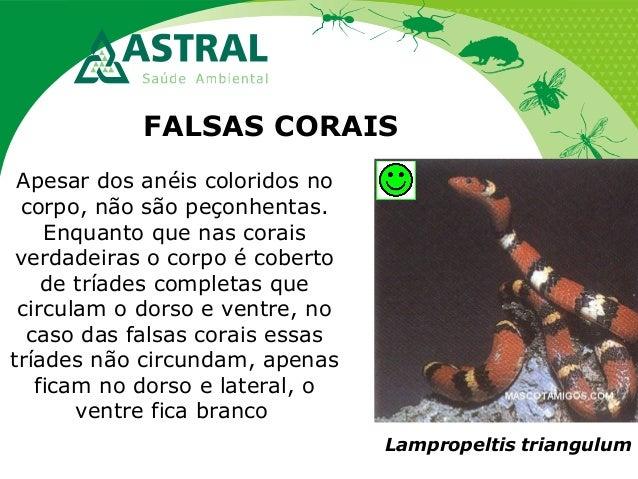 FALSAS CORAIS Apesar dos anéis coloridos no corpo, não são peçonhentas. Enquanto que nas corais verdadeiras o corpo é cobe...