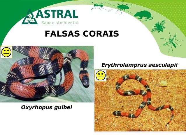 FALSAS CORAIS Oxyrhopus guibei Erythrolamprus aesculapii