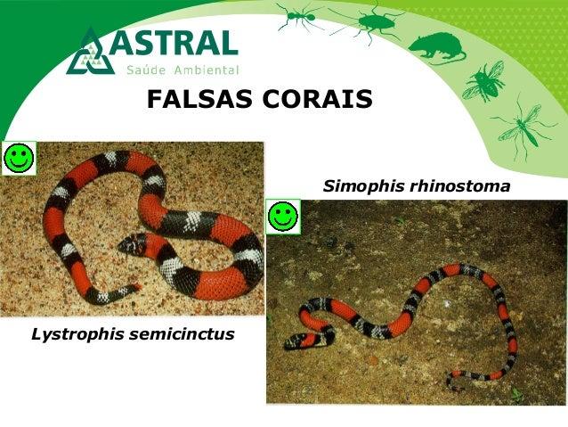 FALSAS CORAIS Lystrophis semicinctus Simophis rhinostoma