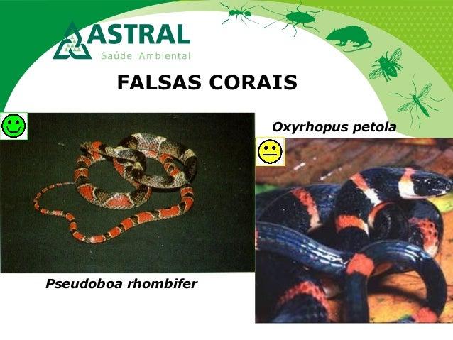 FALSAS CORAIS Pseudoboa rhombifer Oxyrhopus petola