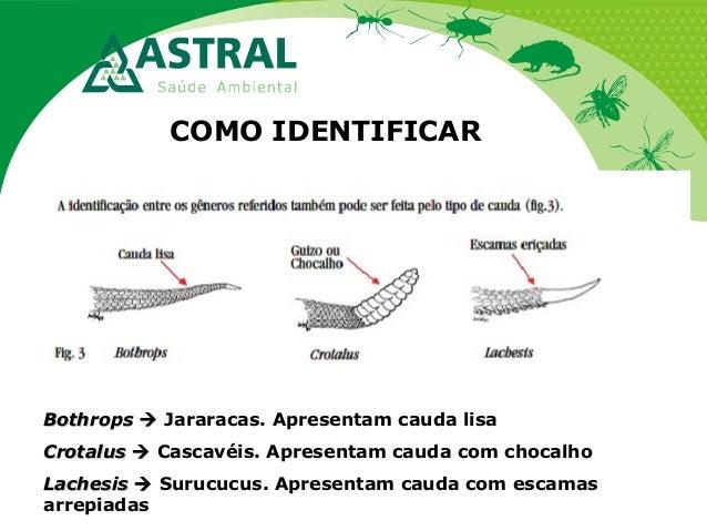 COMO IDENTIFICAR BothropsBothrops  Jararacas. Apresentam cauda lisa CrotalusCrotalus  Cascavéis. Apresentam cauda com ...