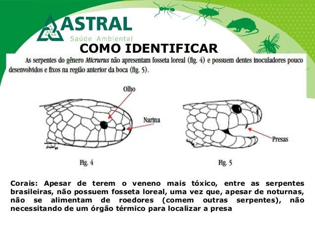 COMO IDENTIFICAR Corais: Apesar de terem o veneno mais tóxico, entre as serpentes brasileiras, não possuem fosseta loreal,...