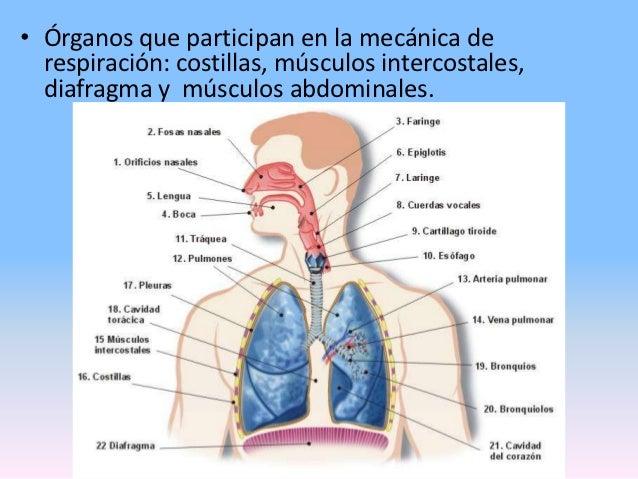 Los músculos que participan al sentar - Aparato Respiratorio (3 ...