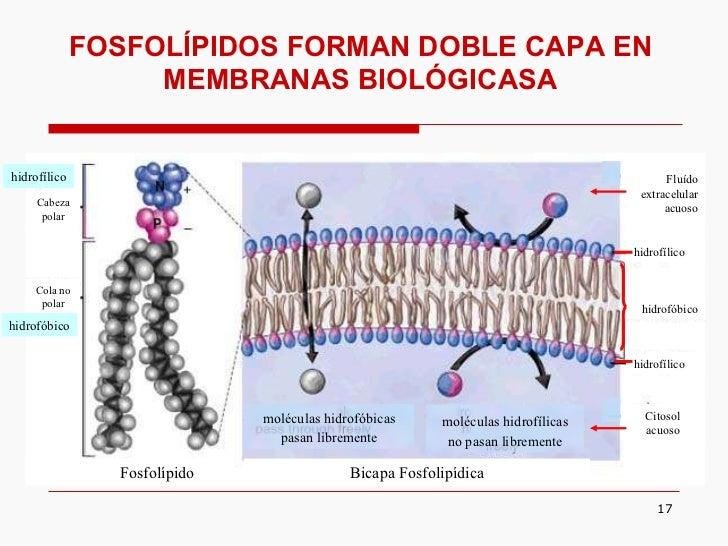 Fosfolípidos Forman Doble Capa