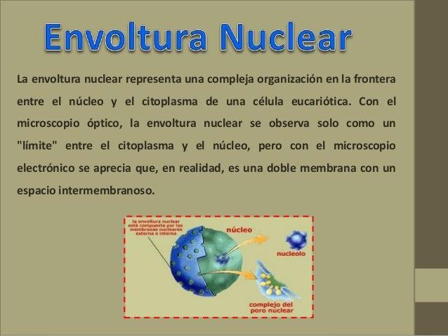La envoltura nuclear representa una compleja organización en la frontera entre el núcleo y el citoplasma de una célula euc...