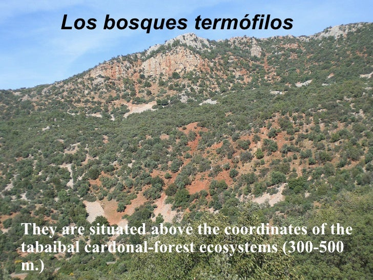 Los bosques termófilos They are situated above the coordinates of the tabaibal cardonal-forest ecosystems (300-500 m.)