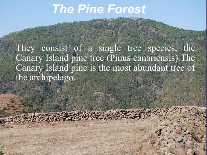 The Pine Forest They consist of a single tree species, the Canary Island pine tree (Pinus canariensis).The Canary Island p...