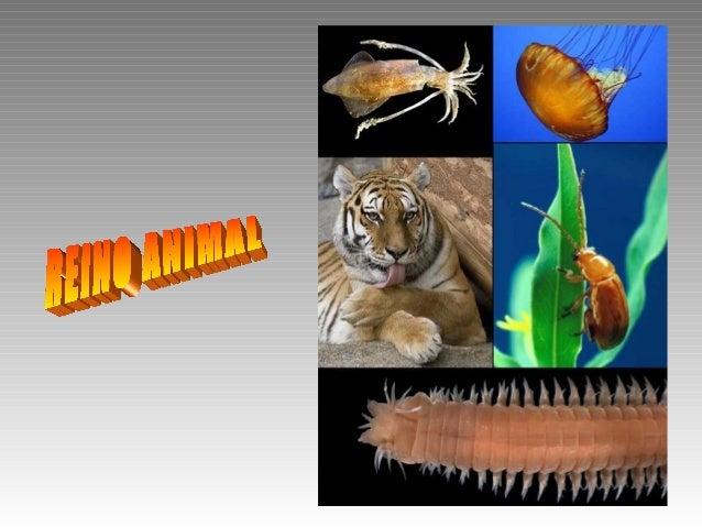 Reino Animal Subreino Parazoos: phylum Poríferos Subreino Mesozoos: phylum Mesozoa Subreino Eumetazoos: Animales con s...