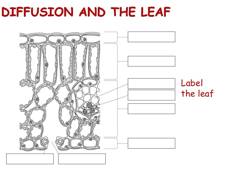 Biological examples of diffusion
