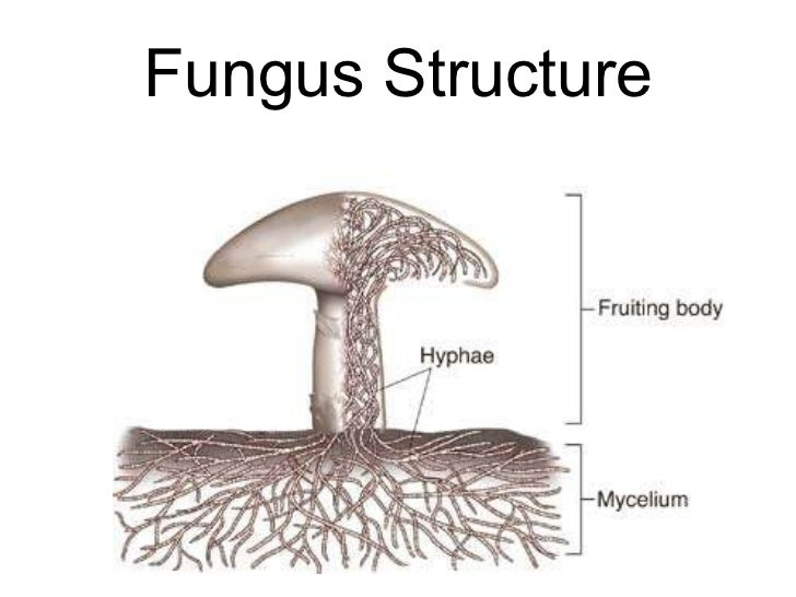 biology fungi Flashcards and Study Sets | Quizlet