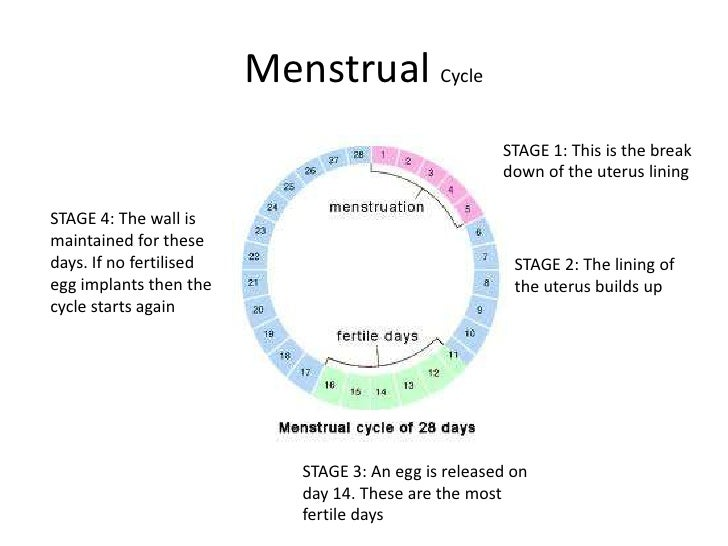 menstrual cycle stage 1 this is the break down of