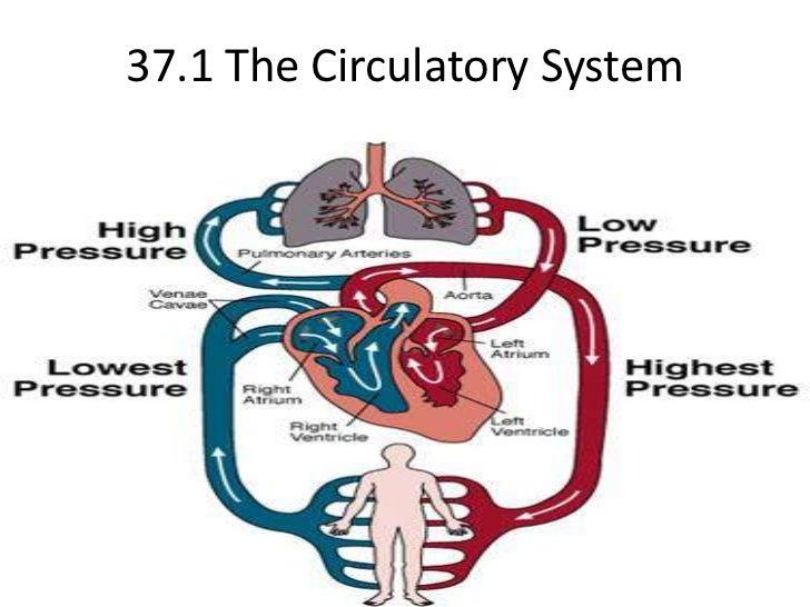 37.1 The Circulatory System <br />
