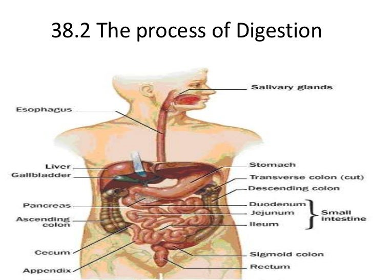 38.2 The process of Digestion<br />